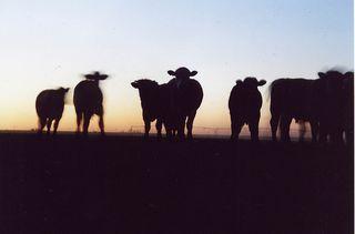 Spooky cows